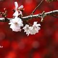 sakuraとmomiji