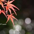 Photos: モミジ キラキラ