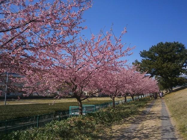 Photos: 美和桜