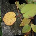 写真: これも黄葉?ー2