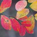 写真: 181111 サルスベリの紅葉1