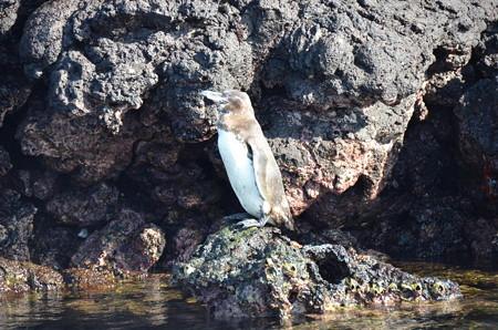 ガラパゴスペンギン、赤道直下のペンギン