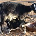 Photos: ヤギの親子、子どもが乳を吸うのを嫌がる親...