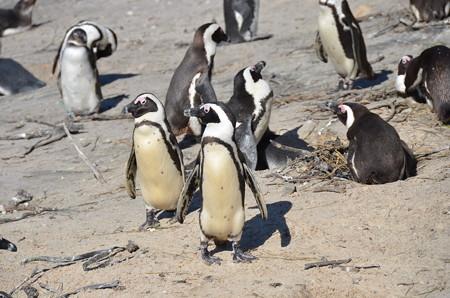 アフリカペンギン。絶滅寸前のため繁殖させてます