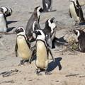 写真: アフリカペンギン。絶滅寸前のため繁殖させてます