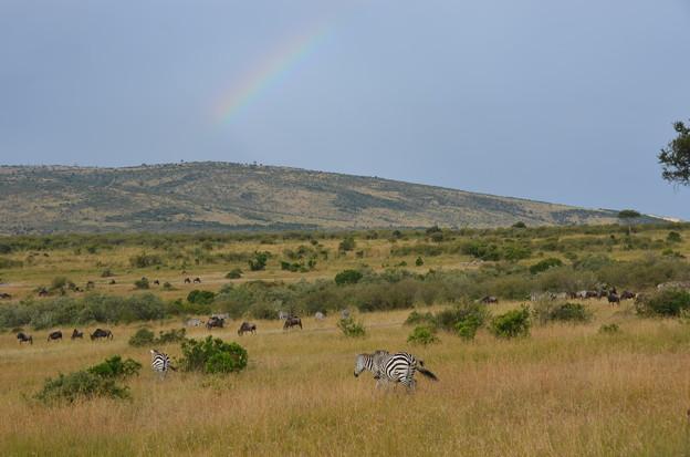 写真: シマウマと虹