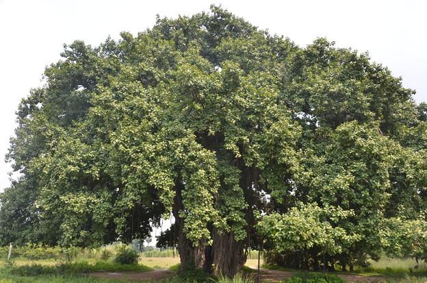 巨大な菩提樹
