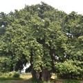 写真: 巨大な菩提樹