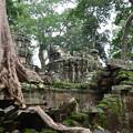 写真: タ・プローム。巨木によって遺跡の破壊が進行中