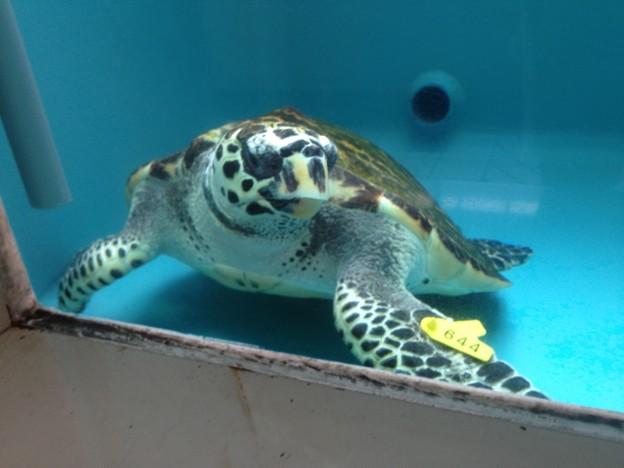 名古屋港水族館:カメ類繁殖研究施設_09(タイマイ)