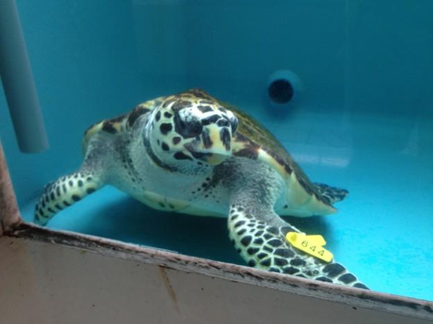 名古屋港水族館:カメ類繁殖研究施設_10(タイマイ)