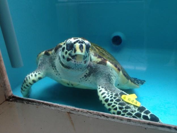 名古屋港水族館:カメ類繁殖研究施設_11(タイマイ)