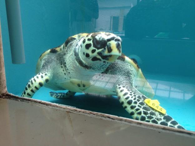 名古屋港水族館:カメ類繁殖研究施設_12(タイマイ)