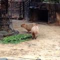 写真: 東山動植物園:生まれたばかりのカピバラの赤ちゃんとその両親 - 1