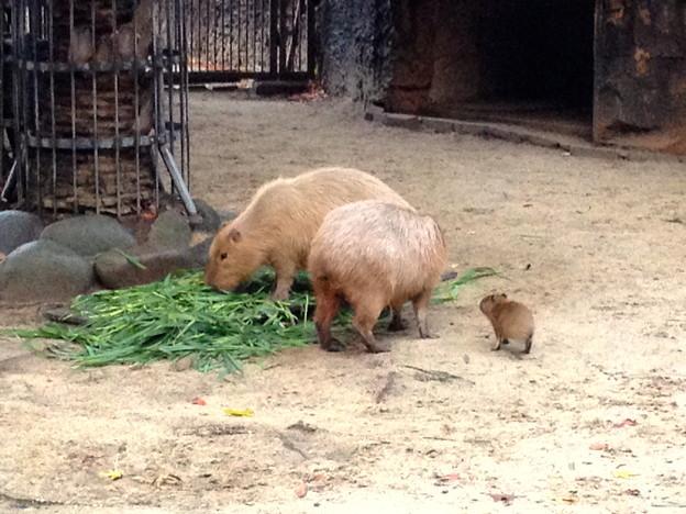 東山動植物園:生まれたばかりのカピバラの赤ちゃんとその両親 - 4
