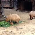 写真: 東山動植物園:生まれたばかりのカピバラの赤ちゃんとその両親 - 8