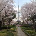写真: 久屋大通公園の桜 - 03