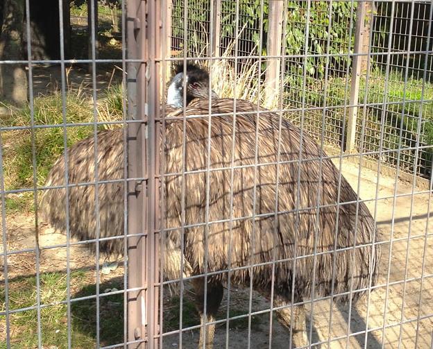 東山動植物園:エミュー - 2