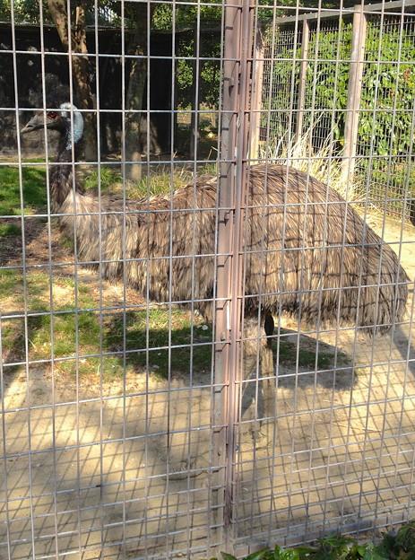 東山動植物園:エミュー - 3