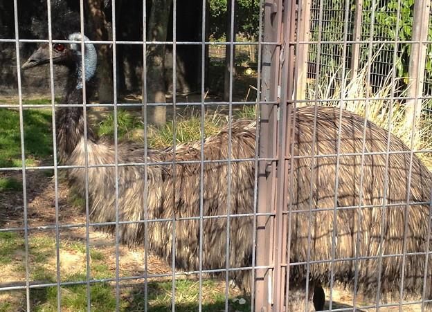 東山動植物園:エミュー - 4