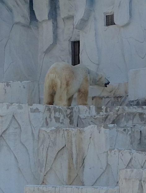 東山動植物園:ホッキョクグマ - 2