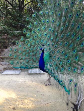 東山動植物園バードホール - 21:求愛するインドクジャクのオス