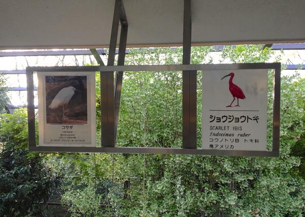 東山動植物園バードホール - 32:コサギとショウジョウトキの解説