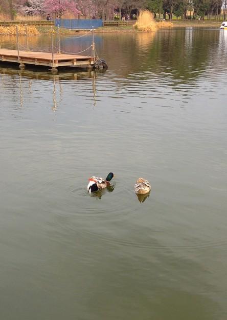 庄内緑地公園 - 058:ボート池にいたマガモ
