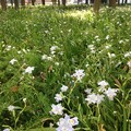 Photos: 白川公園で咲いていた可愛らしい白くて小さな花 - 2