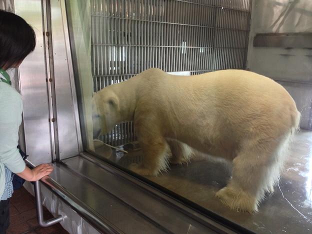 東山動植物園:めっちゃでかいホッキョクグマ - 1