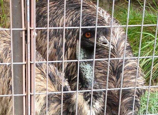 東山動植物園:食事中のエミュー - 2