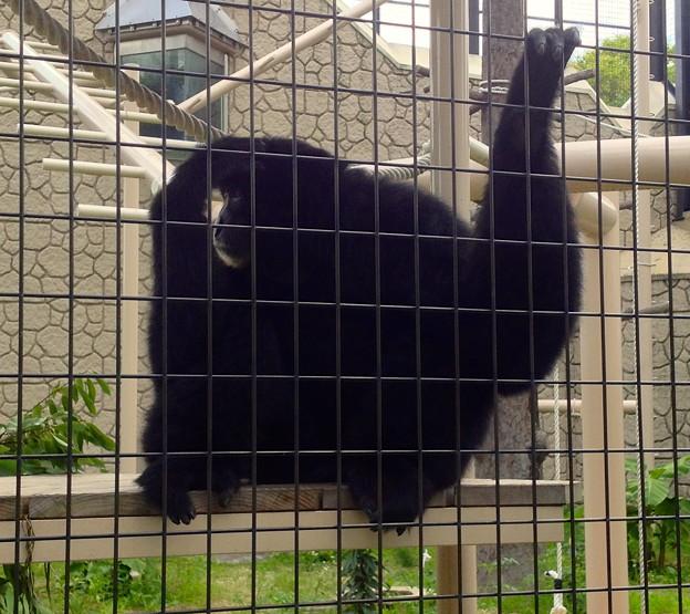東山動植物園:真っ黒で手が長い「フクロテナガザル」 - 1