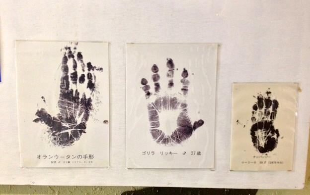 東山動植物園:オラウータン・ゴリラ・チンパンジーの手形