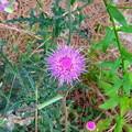 近所で見かけた紫色の丸い変わった花 - 3