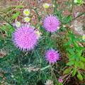 近所で見かけた紫色の丸い変わった花 - 4