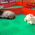 JCフェスティバル 2013 No - 26:動物ふれあい体験コーナー(ヤギ)