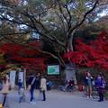 写真: 東山植物園 紅葉ライトアップ 2013 No - 016:点灯前の紅葉