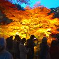 写真: 東山植物園 紅葉ライトアップ 2013 No - 036