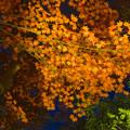 写真: 東山植物園 紅葉ライトアップ 2013 No - 042