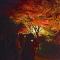 写真: 東山植物園 紅葉ライトアップ 2013 No - 057