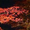 写真: 東山植物園 紅葉ライトアップ 2013 No - 075