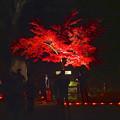 写真: 東山植物園 紅葉ライトアップ 2013 No - 095