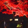 写真: 東山植物園 紅葉ライトアップ 2013 No - 096