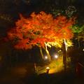 写真: 東山植物園 紅葉ライトアップ 2013 No - 107