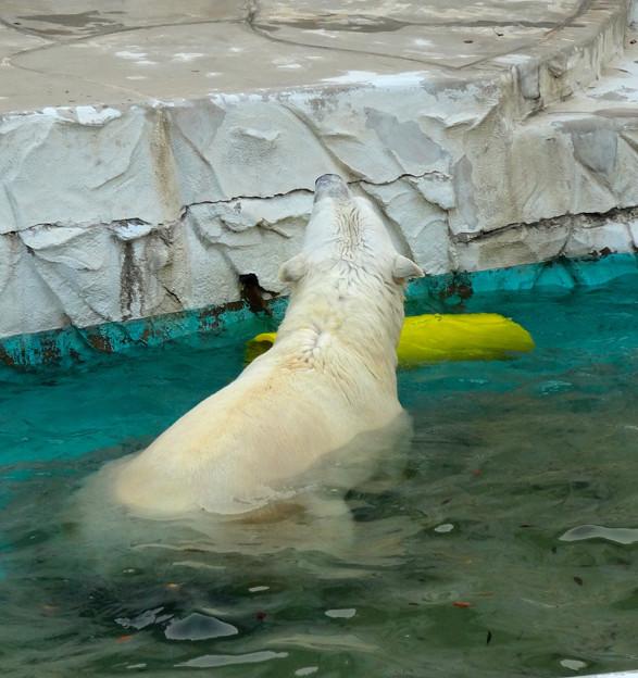 東山動植物園 No - 059:涼しくなったからか、元気に遊ぶホッキョクグマ