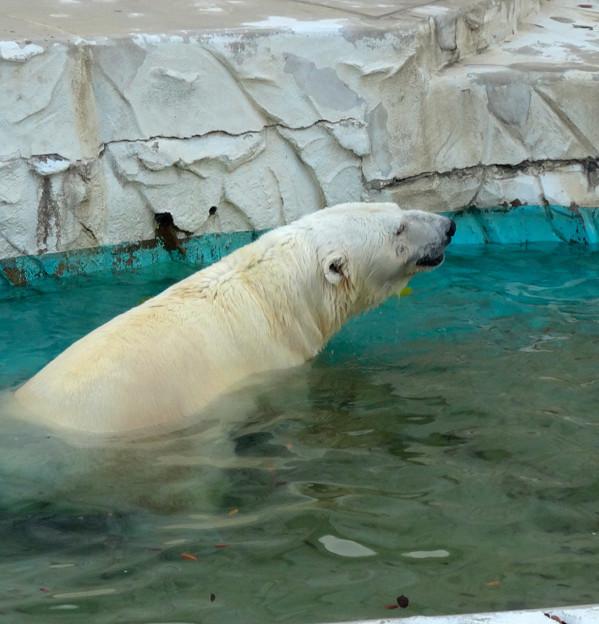 東山動植物園 No - 060:涼しくなったからか、元気に遊ぶホッキョクグマ