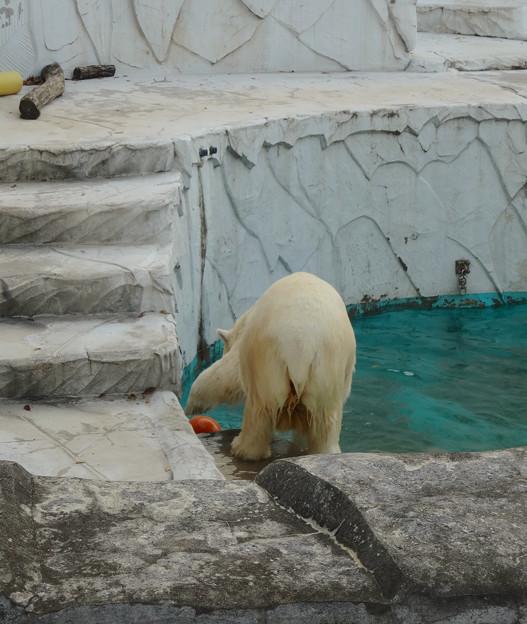 東山動植物園 No - 066:涼しくなったからか、元気に遊ぶホッキョクグマ