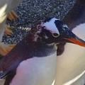 名古屋港水族館ペンギンよちよちウォーク 2013年12月 No - 09