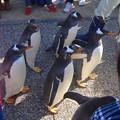 名古屋港水族館ペンギンよちよちウォーク 2013年12月 No - 10