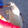 名古屋港水族館ペンギンよちよちウォーク 2013年12月 No - 12